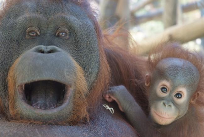 Bornean orang-utan in Barcelona Zoo. / Photo: Barcelona Zoo website.