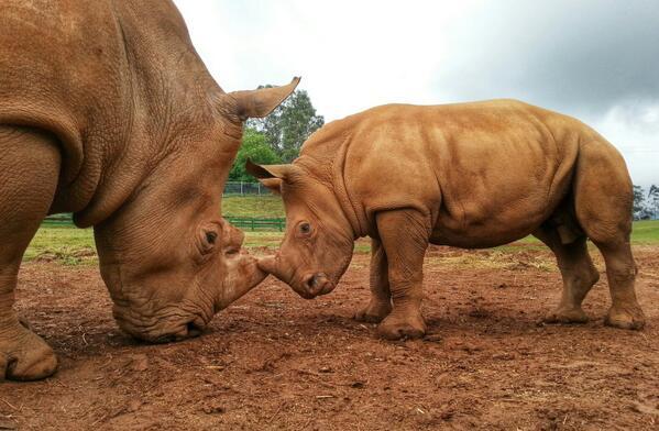 Bebé rinoceronte con su mamá en el Parque de la Naturaleza de Cabárceno, Santander. / Foto: Twitter, usuario: iizquierdo