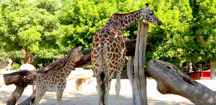 Jirafas en el zoo de Madrid.