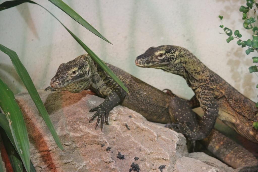 Crías de dragón Cómodo en Faunia. / Foto: Faunia.es.