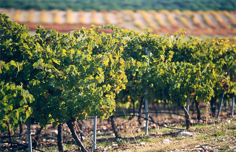 Viñedos de la bodega Viña Mayor, Quintanilla de Enésimo. / Foto: vina-mayor.com